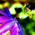 Passiflora Amethyst.........