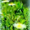 White-flowering Japanese dandelion.......