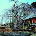 枝垂れ桜が咲きました.....