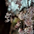 枝垂れ桜日和.......