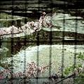 Photos: 終桜絵図.......