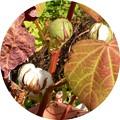 写真: 庭の綿の実