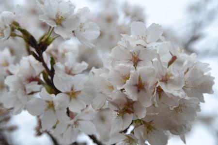 桜!@清水公園 [3/24]
