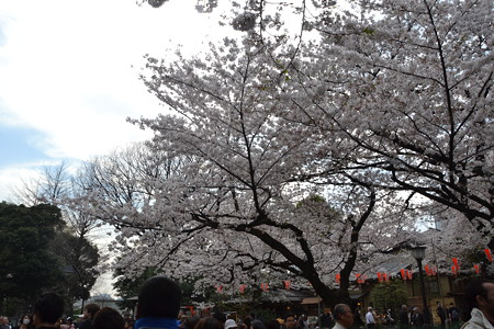 桜@上野公園 [3/28]
