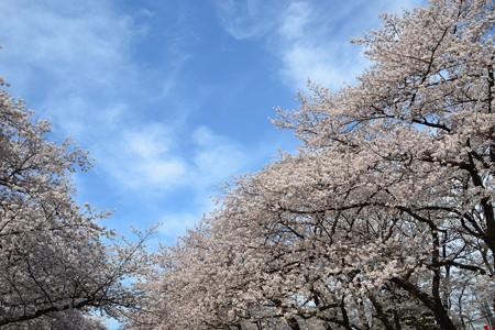 空と桜@上野公園 [3/28]