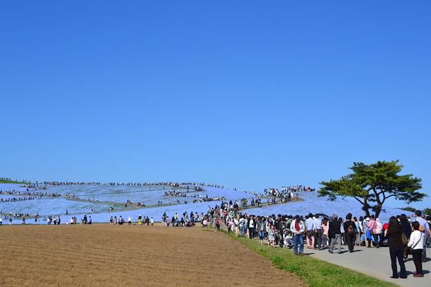 ネモフィラと空の青 [国営ひたち海浜公園]