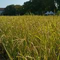 上野の田圃90612ct