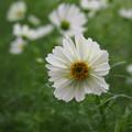 Photos: 白いコスモス511