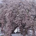 Photos: 八重の桜
