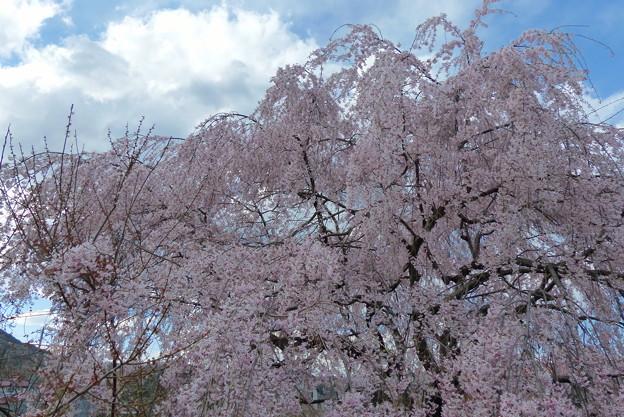 上長瀞 しだれ桜