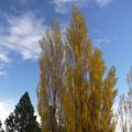 黄色に染まるポプラ