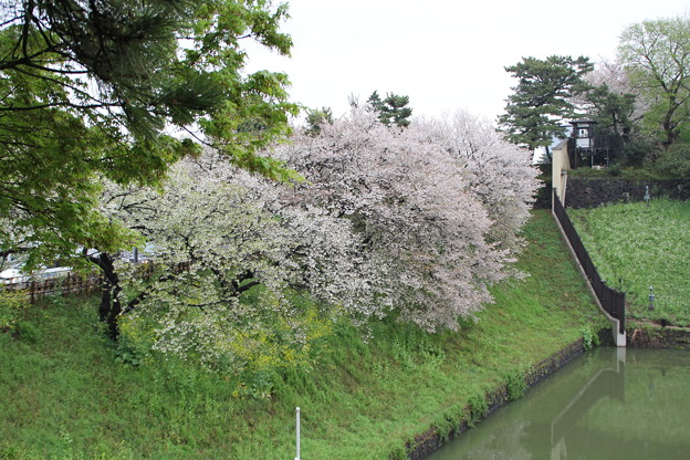 山桜と染井吉野
