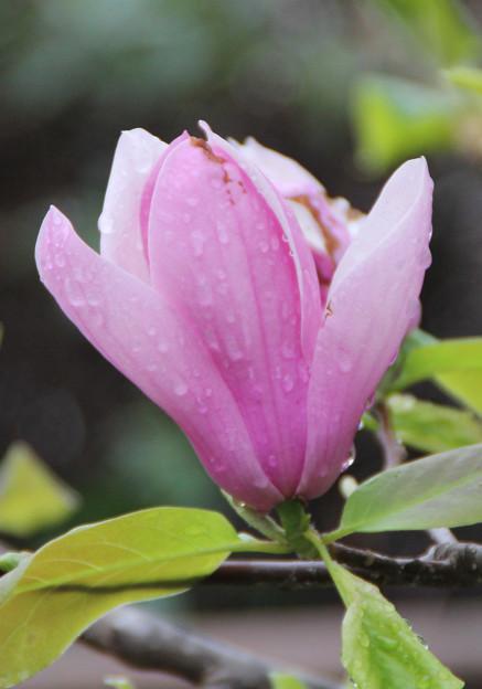 雨上がりの木蓮