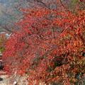桜の綺麗な紅葉3