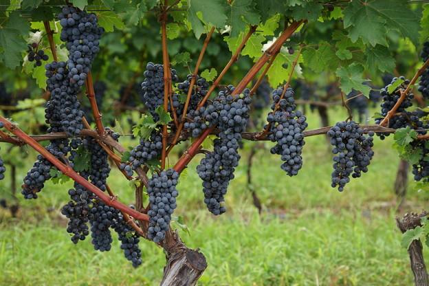 赤ワイン用ぶどう20139月6日。