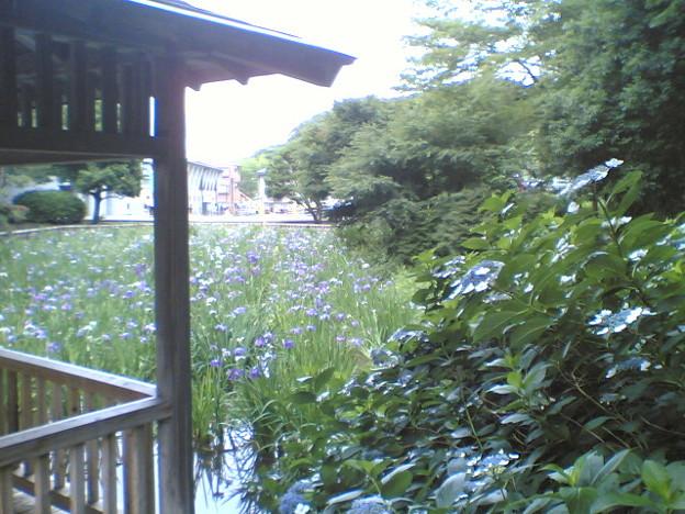 ひらひらした紫陽花の背後に凛と広がる菖蒲は、対比でさらに緊張感を...