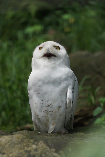 シロフクロウ