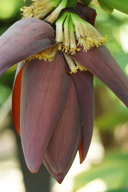 バナナの花