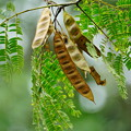 Photos: ネムノキの種
