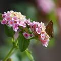 写真: ランタナと蝶