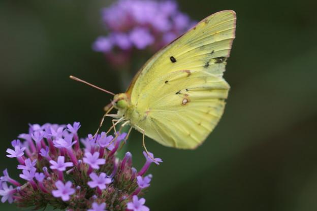 写真: 花とモンキチョウ