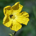 Photos: ヘチマと蜂