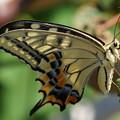 Photos: 休む蝶