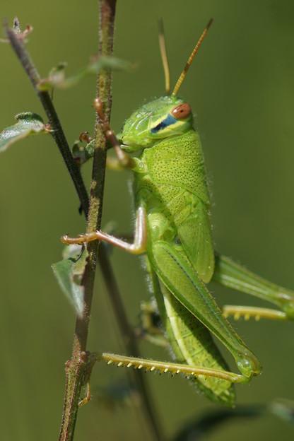 Photos: 緑のバッタ