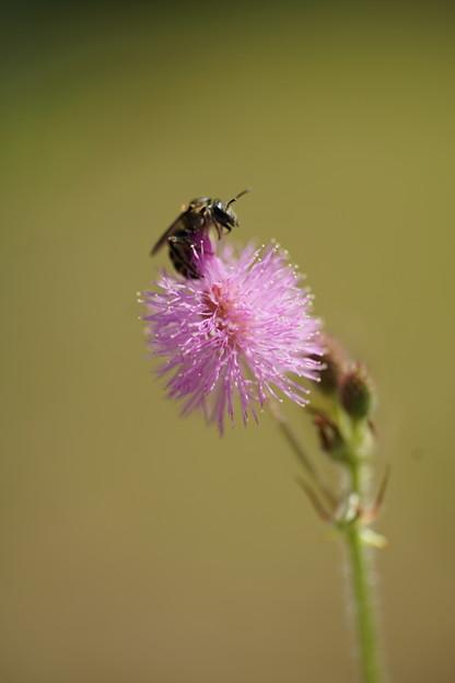 オジギソウと蜂