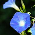 Photos: 青い朝顔