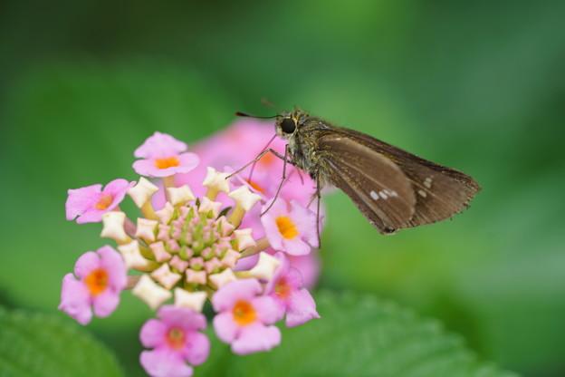 写真: 花とイチモンジセセリ