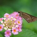 Photos: 花とイチモンジセセリ