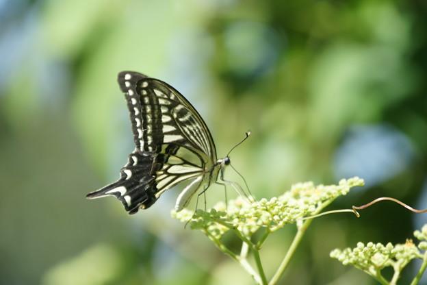 ヤブカラシと蝶