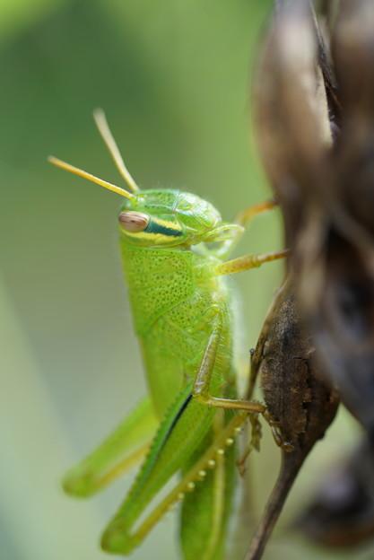 緑のバッタ