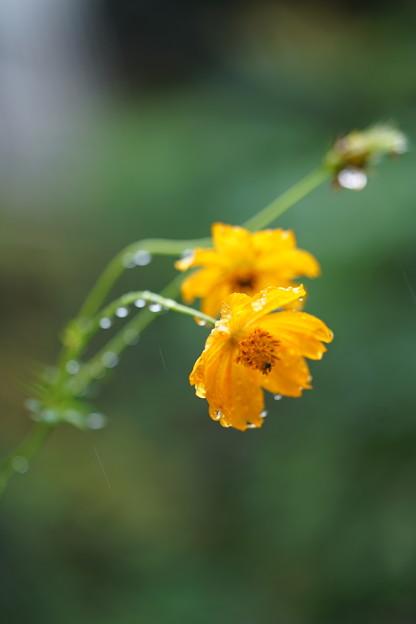雨の日のコスモス
