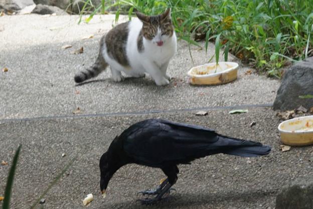 猫餌食うカラス