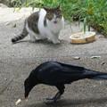 写真: 猫餌食うカラス