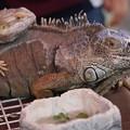写真: 爬虫類