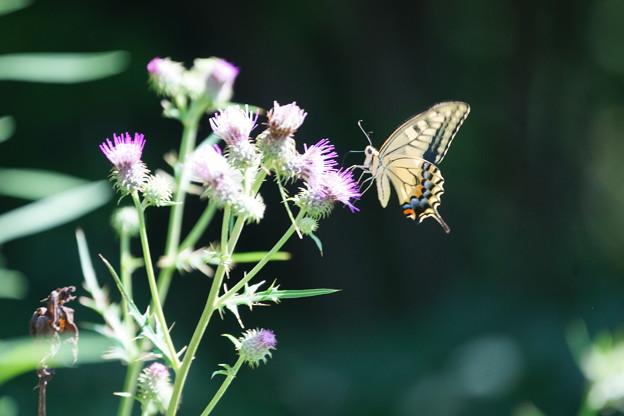 写真: アザミに蝶