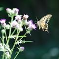 アザミに蝶
