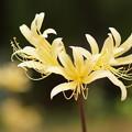 写真: 黄色い彼岸花