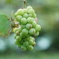 写真: 葡萄