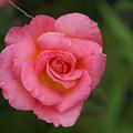 写真: ピンクの薔薇