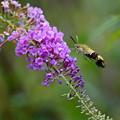 写真: 花とオオスカシバ