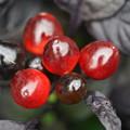 写真: 五色トウガラシ