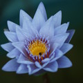 写真: 水色の睡蓮