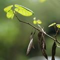 Photos: ハナズオウの種