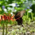 写真: クロアゲハと彼岸花