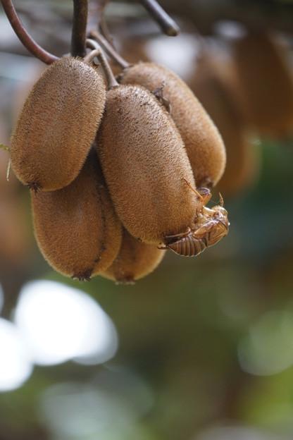 写真: キウイフルーツと抜け殻