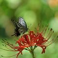 写真: 彼岸花とアゲハ